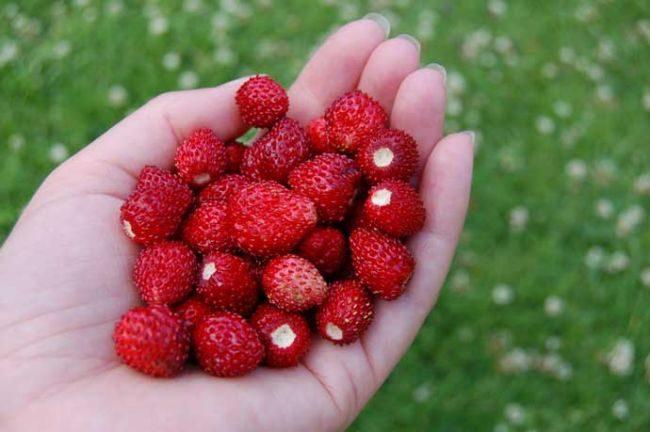 Горсть спелых ягод ремонтантной мелкоплодной клубники сорта Рюген от немецких селекционеров