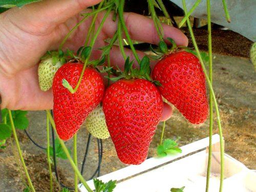 Конусовидные ягоды клубники сорта Роксана