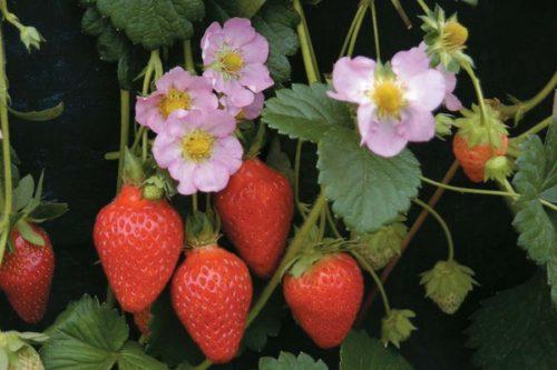 Ягоды и цветы клубники Роман