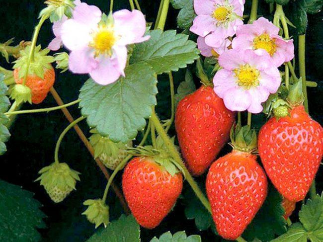 Цветки и плоды клубники сорта Роман