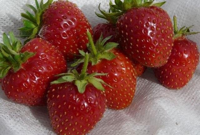 Спелые ягоды клубники сорта Росинка