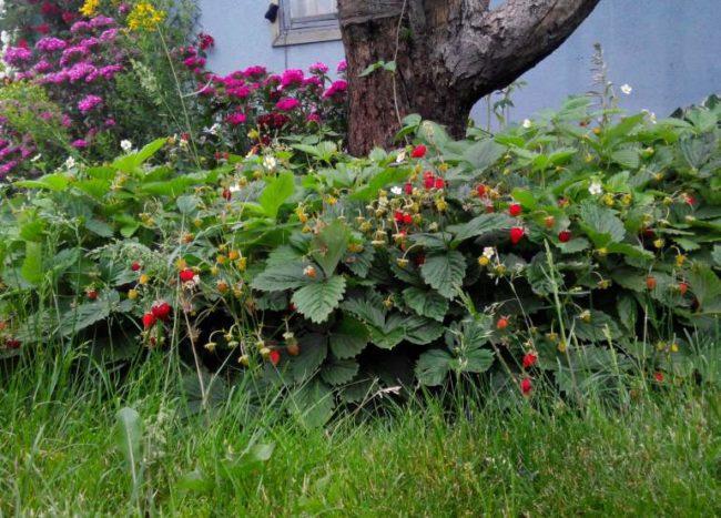 Кусты ремонтантной клубники сорта Руяна в грядке вокруг яблони и яркие ягоды кисло-сладкого вкуса
