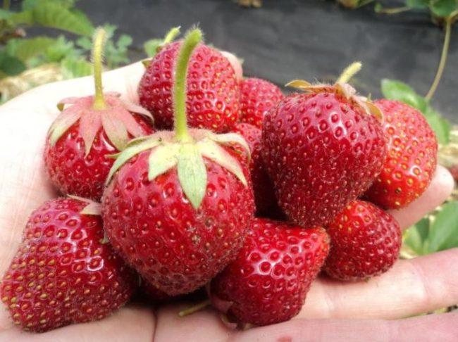 Ароматные ягоды клубники сорта Русич