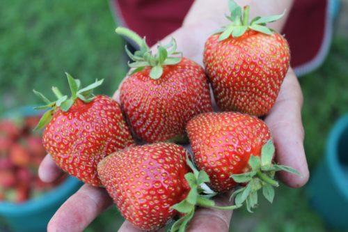 Пять крупных ягод красного цвета, среднеспелый сорт клубники Сирия