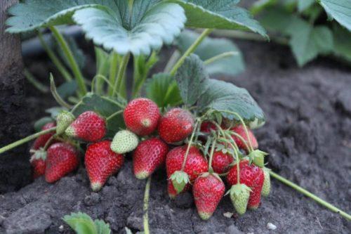 Куст клубники итальянского сорта Сирия и красные ягоды на крепких стеблях
