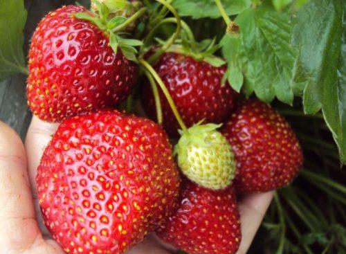 Плоды клубники сорта Соловушка