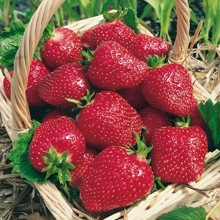 Лукошко с ягодами клубники сорта Соловушка