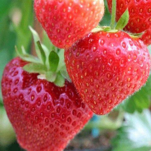 Три ягоды клубники сорта Соната