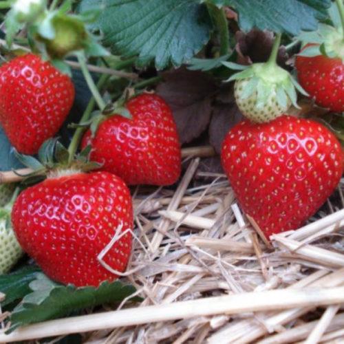 Красные плоды клубники на соломе