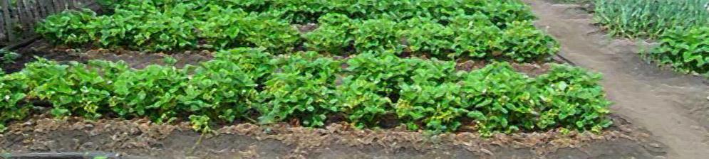 Грядка клубники на садовом участке средняя полоса России