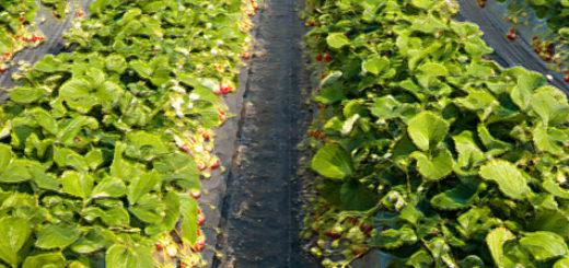 Урожай клубники в огромной теплице