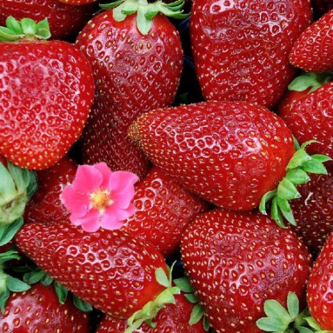 Красные ягоды клубникиТристан