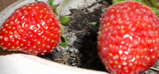 Плоды клубники в горшке выращенной в домашних условиях