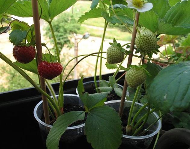 Саженцы клубники в квартире и плоды у окна
