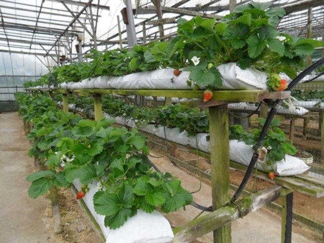 Маты для выращивания клубники 55