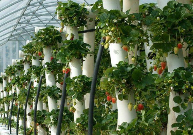 Вертикальные грядки из труб для круглогодичного выращивания клубники