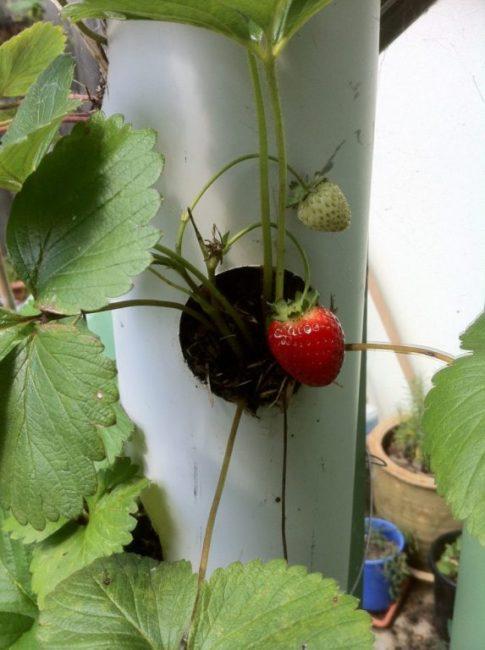 Ягода клубники на кусту, растущим из вертикальной трубы