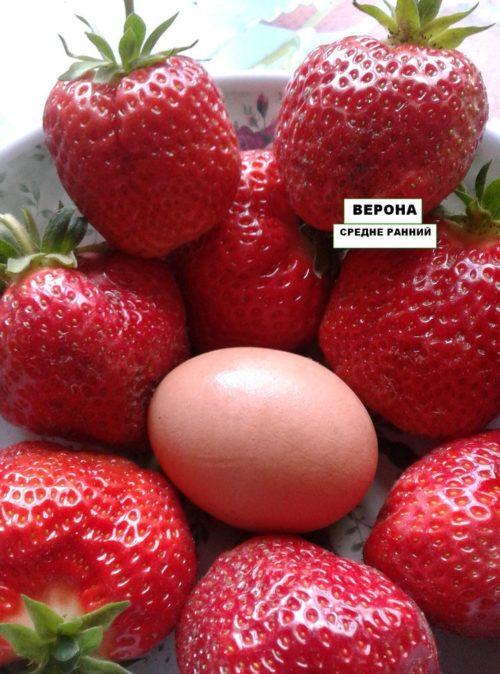 Размеры плодов клубники Верона