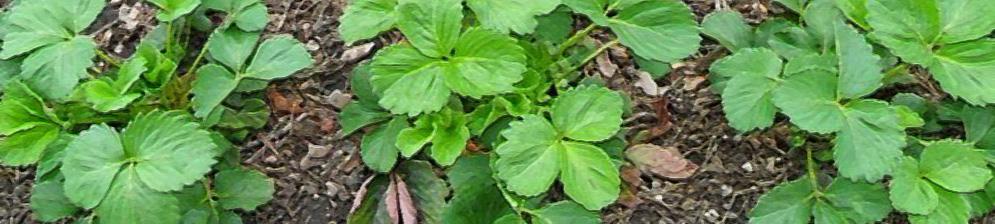 Куст клубники весной вблизи