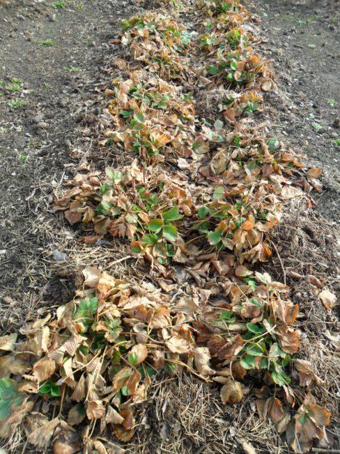 Садовая клубника ранней весной