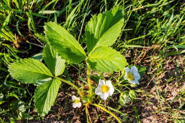 Цветки на кустике садовой клубники