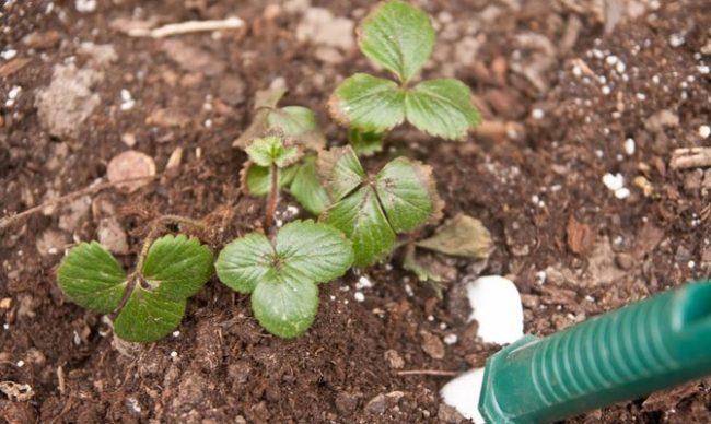 Кустик садовой клубники в начале апреля, рыхление поверхности почвы