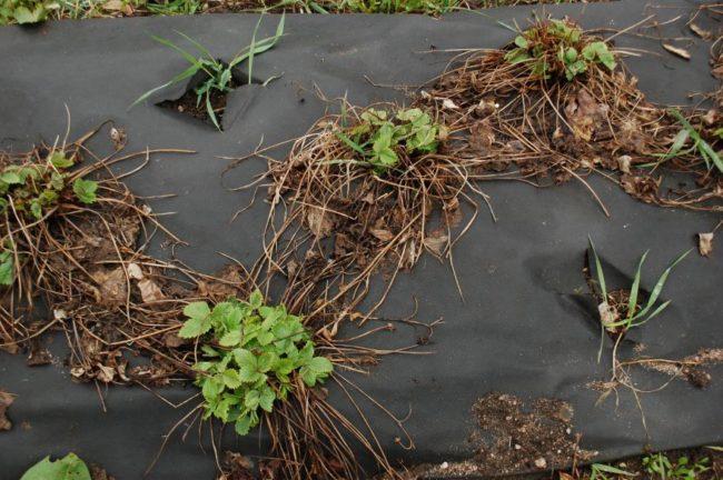Кусты клубники ранней весной