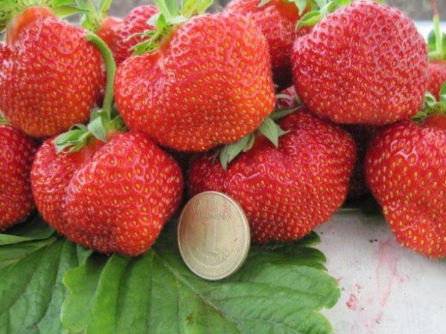 Крупные ягоды клубники Вима Занта