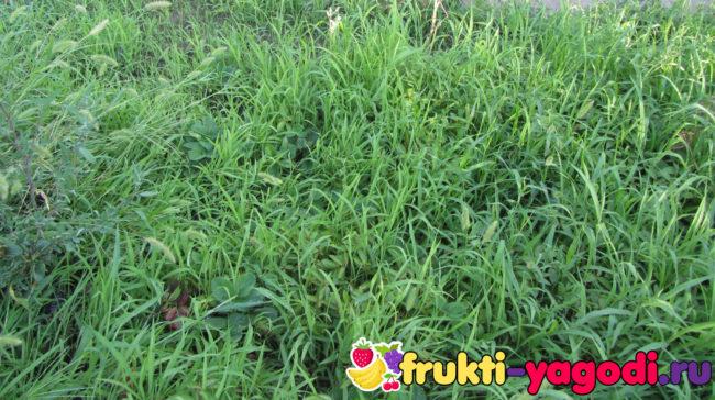 Клубника увязла в сорняках и траве