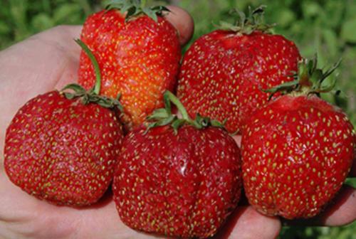 Крупные плоды клубники сорта Зефир