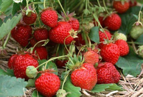 Спелые ягоды на кусту клубники Зефир