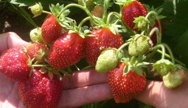 Крупные ягоды селекционной клубники Зефир