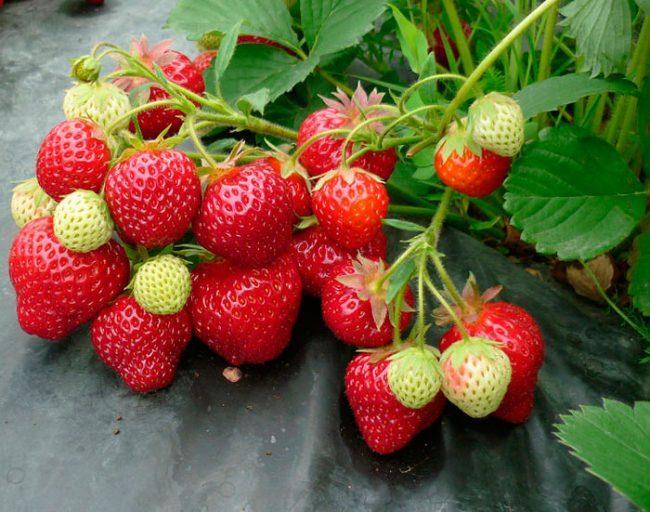 Плоды клубники Женева, рекомендованной для выращивания на Урале