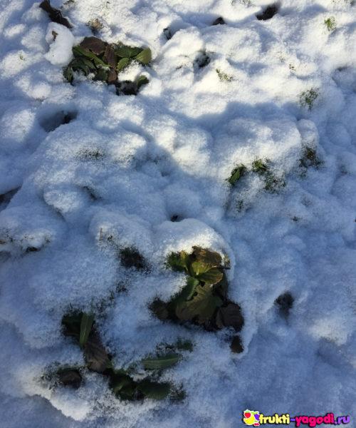 Клубника в снегу зимой без обрезки