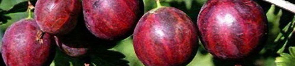 Спелые плоды крыжовника сорта колобок вблизи