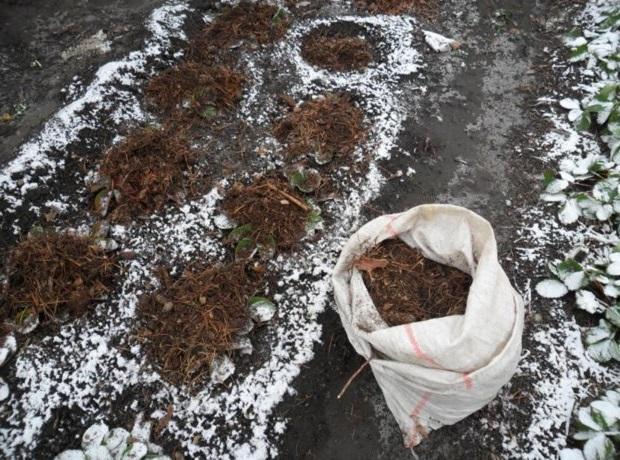 Грядка с клубникой поздней осенью, укрытие в зиму компостом
