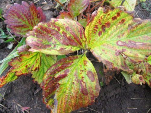 Признаки поражения садовой клубники коричневой пятнистостью
