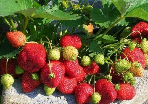 Спелые плоды на кусту клубники Королева Елизавета