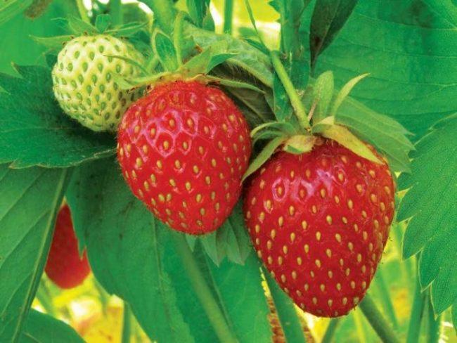 Аккуратные ягоды клубники сорта Красавица Загорья