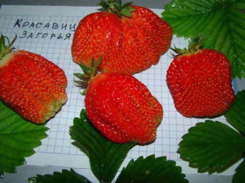 Крупные плоды клубники сорта Красавица Загорья