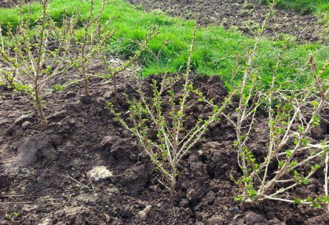 Молодые кустики крыжовника ранней весной, распускаются почки и появляются листики