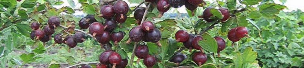 Спелые плоды крыжовник Грушенька вблизи