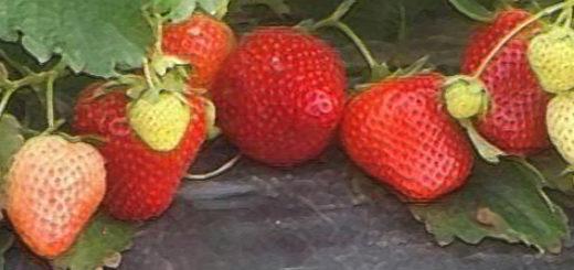 Плоды клубники Кристина вблизи