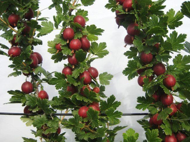 Крупные ягоды крыжовника на кусте на шпалере