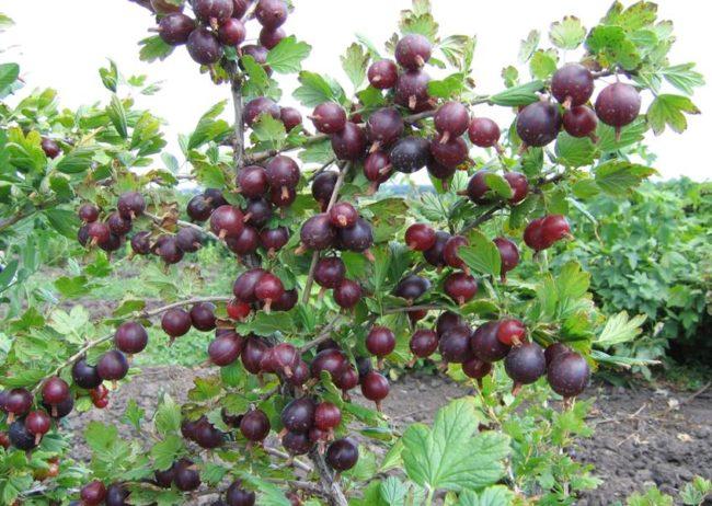 Куст крыжовника «Черносливовый» с крупными фиолетовыми ягодами