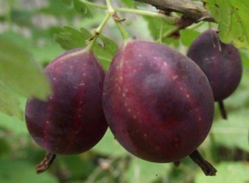 Темно-сливовая ягода крыжовника Грушенька отечественной селекции