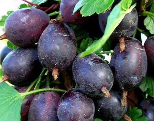 Созревшие ягоды шиповника Грушенька насыщенно фиолетового цвета