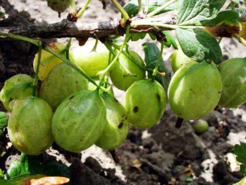 Зеленые ягоды крыжовника Грушенька в начале созревания