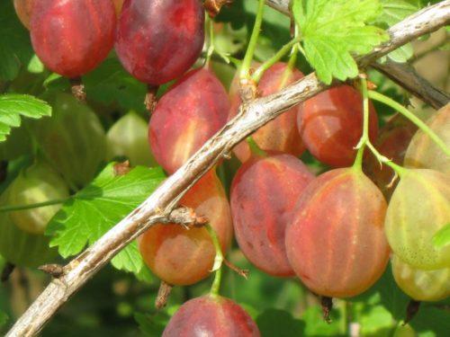 Красноватые плоды крыжовника сорта Грушенька в средней стадии созревания