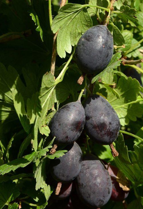 Ветка крыжовника, усыпанная спелыми ягодами средней величины